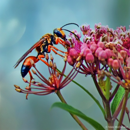 The Wasp and the Milkweed