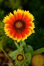 Showy Blanket Flower
