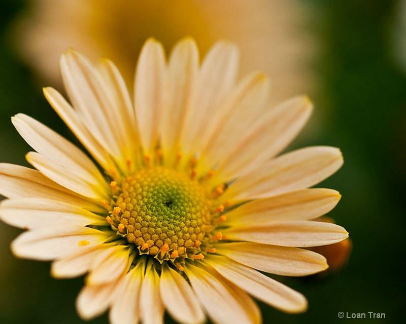 Little Chrysanthemum - ID: 14651386 © Loan Tran