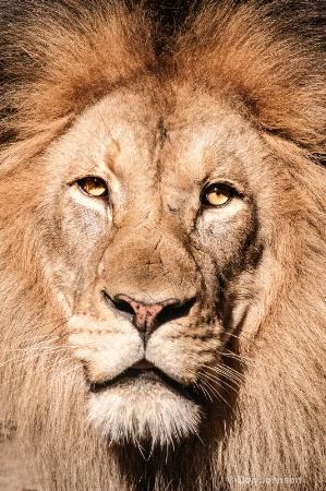 Portrait of a Lion 101