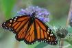 monarch full wing...