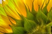 Luminous Sunflowe...