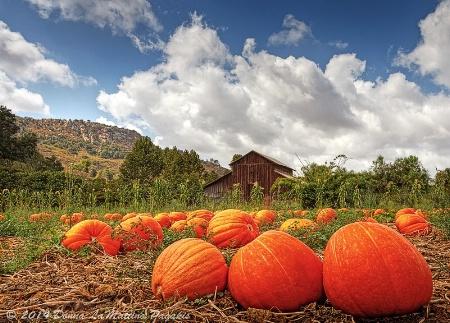 Where the Pumpkins Grow