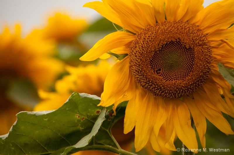 Field of sunshine - ID: 14659902 © Roxanne M. Westman