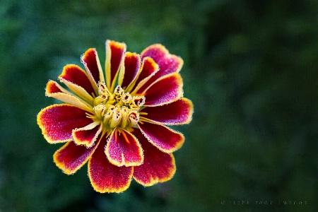 Dewy Marigold