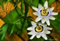 les-fleurs-de-passion