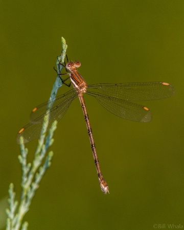 Spreadwing Damselfly