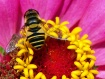 Syrphid in Sun