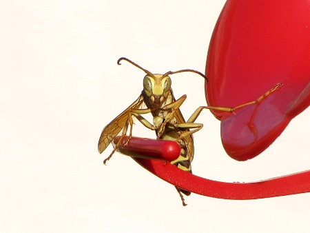 Wasp Pose