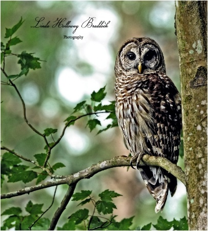 Owl Resting