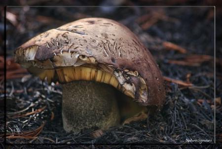 ~ Mountain Mushroom ~
