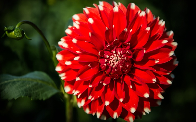 Red Dahlia with Bud