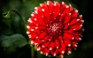 Red Dahlia with B...