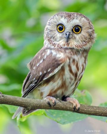 Saw Whey Owl