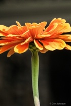 Orange Flower Profile j297