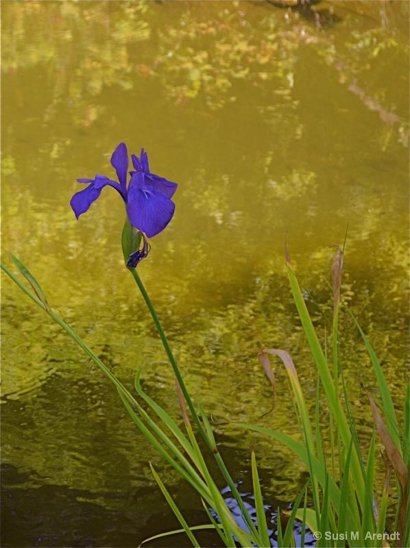 Iris at GG Park - ID: 14685959 © Susanne M. Arendt