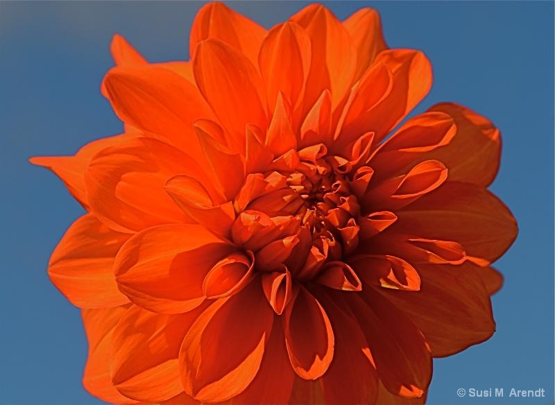 Dahlia - ID: 14685961 © Susanne M. Arendt