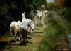 White Horses of C...