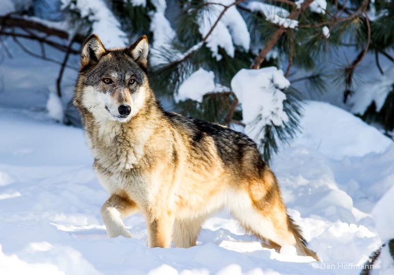 winter wolf photos 2014 155-39 - ID: 14686417 © Dan Hoffmann