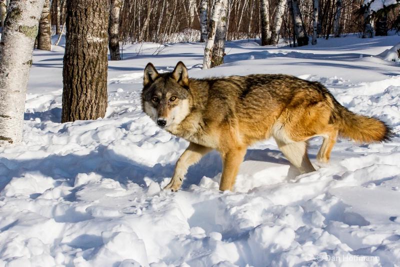 winter wolf photos 2014 362-104 - ID: 14686418 © Dan Hoffmann