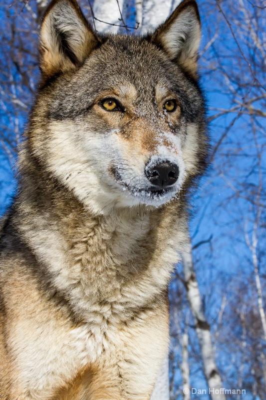 winter wolf photos 2014 391-108 - ID: 14686419 © Dan Hoffmann