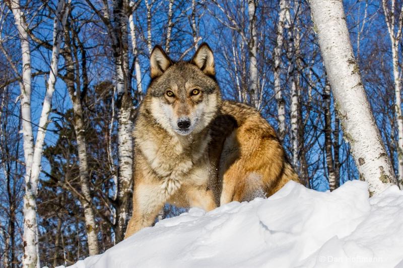 winter wolf photos 2014 429-132 - ID: 14686421 © Dan Hoffmann