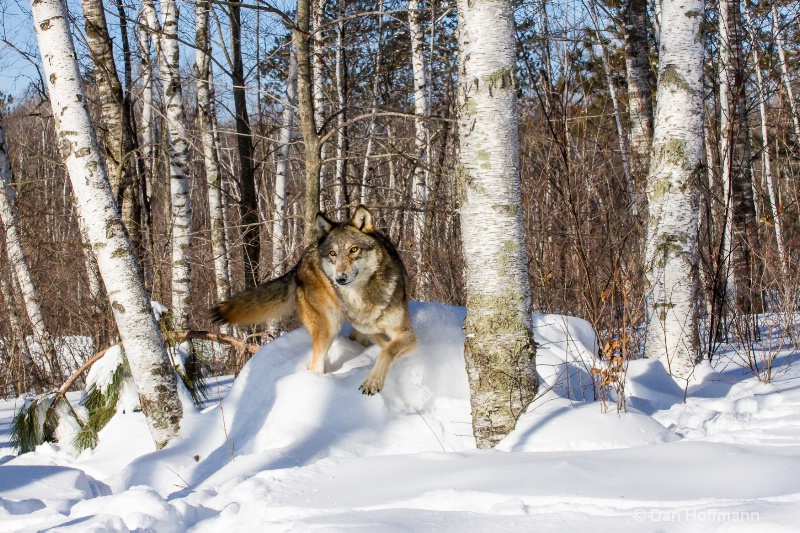 winter wolf photos 2014 785-229 - ID: 14686426 © Dan Hoffmann