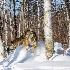 © Dan Hoffmann PhotoID # 14686426: winter wolf photos 2014 785-229