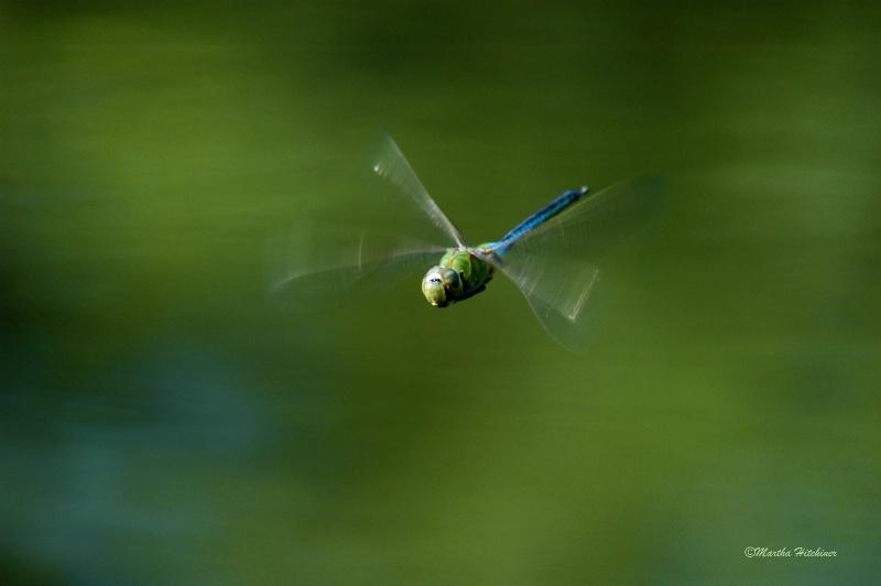 Green Darner in Flight - ID: 14687067 © Martha M. Hitchiner
