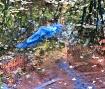 Blue Heron escapi...
