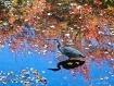 Blue Heron in the...