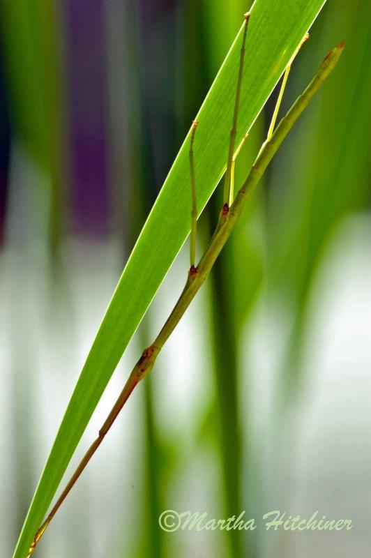 Walkingstick on Cattail - ID: 14689835 © Martha M. Hitchiner