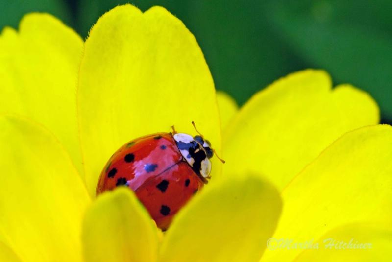 Ladybug, Ladybug - ID: 14690641 © Martha M. Hitchiner