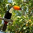 © Michael Stern PhotoID # 14692430: toco-tucan-on-a-branch-facing-right-keepers-day-6-