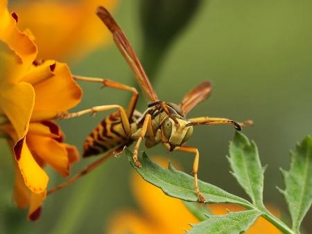 wasp retreating