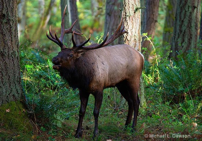 Roosevelt Elk Bugling