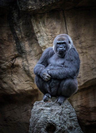 """Penny"" a lowland gorilla"