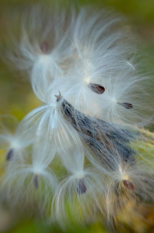 Milkweed - ID: 14702100 © Nora Odendahl