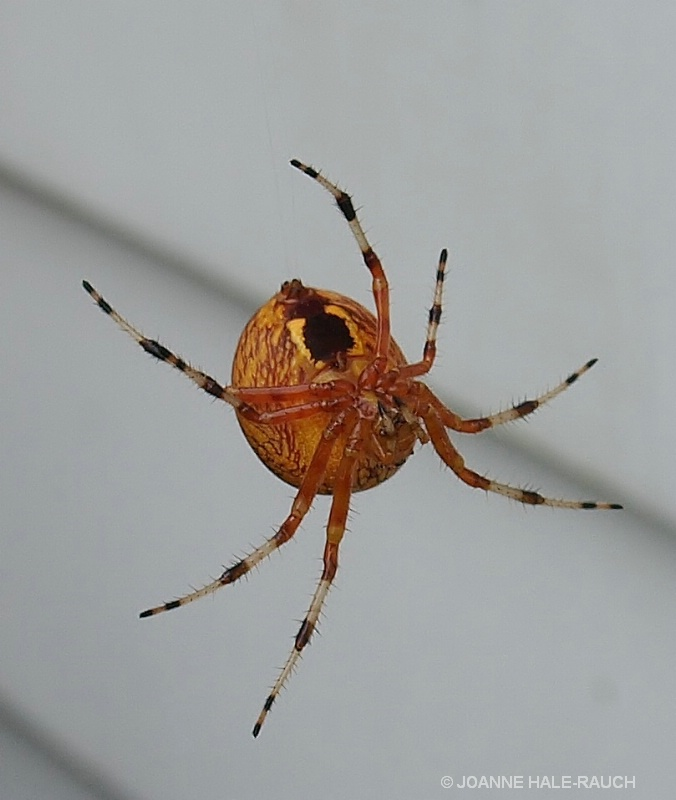 ORANGE SPIDER - ID: 14705095 © JOANNE HALE-RAUCH