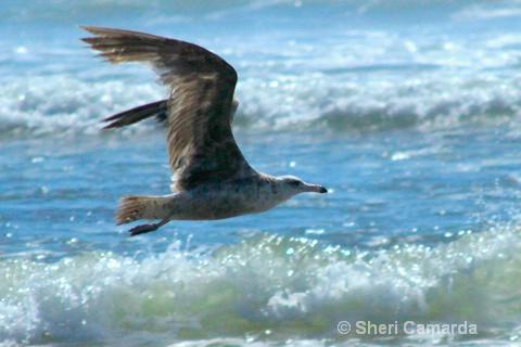 Flying Low! - ID: 14711102 © Sheri Camarda