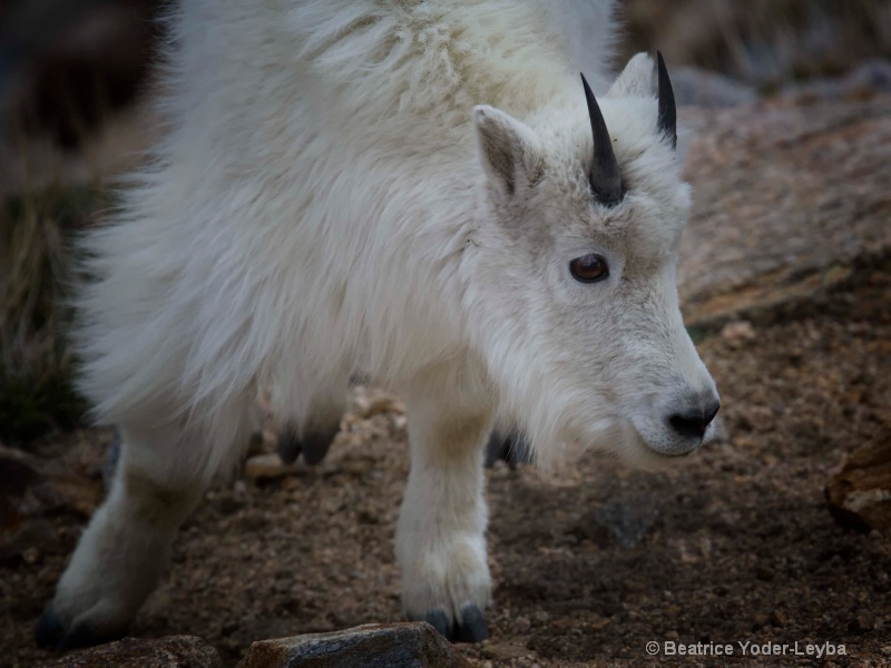 mg 4786 baby goat curious - ID: 14712907 © Beatrice Yoder-Leyba