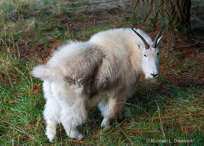 Grazing Mountain Goat