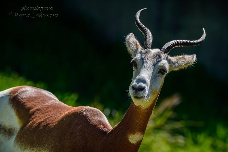 Addra (Dama) Gazelle
