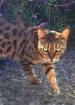 Jaguar House Cat