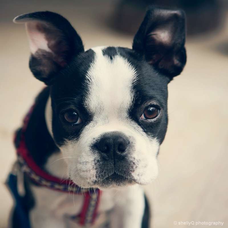 Pixel the Boston Terrier