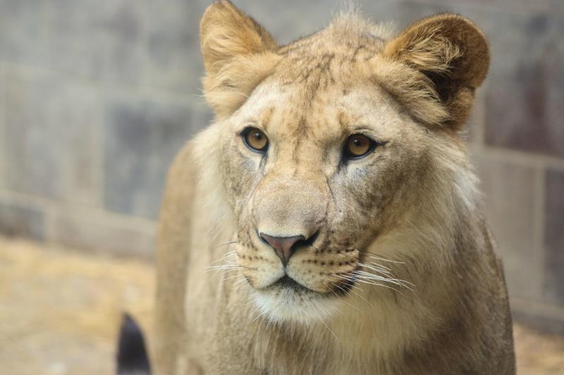 Lion 2014