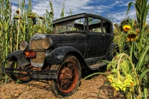 Jalopy in The Sunflower Patch