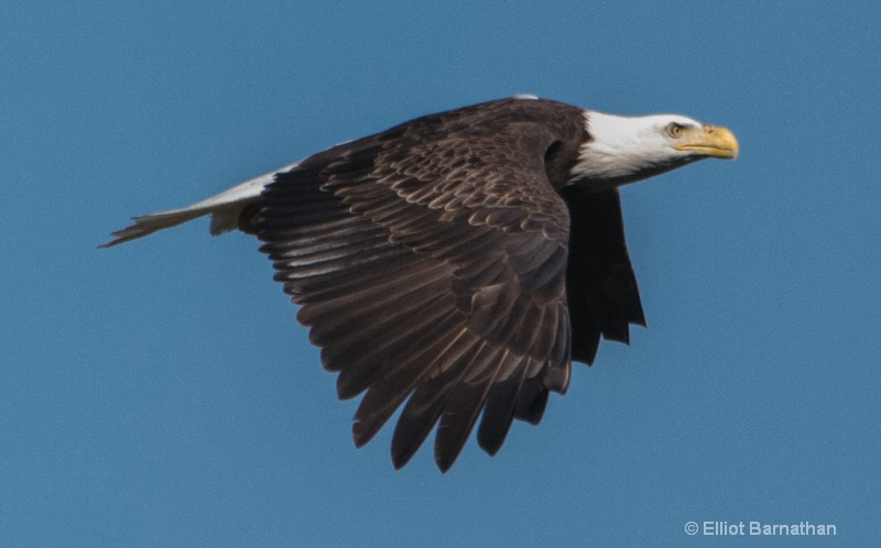 Bald Eagle 5 - ID: 14720770 © Elliot S. Barnathan