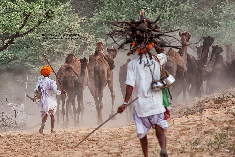 Camel Carvan-1