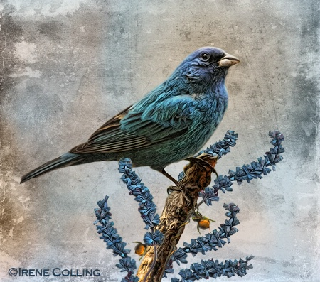 Indigo Bunting and Salvia